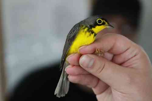 Male Canada Warbler.  Photo by Miranda Monica.
