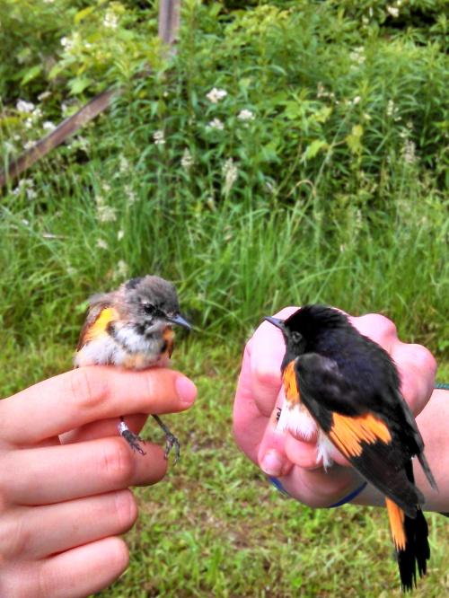 HY and ASY Male American Redstarts