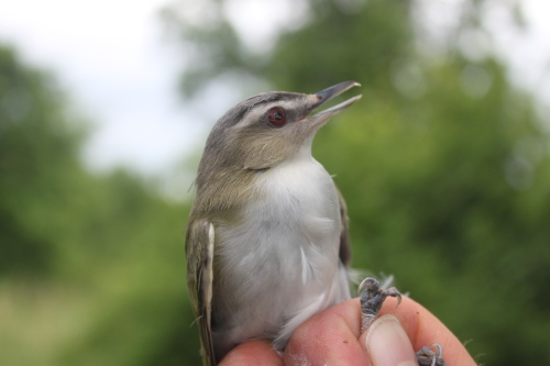 ASY M Red-eyed Vireo Photo by Ryan Kayhart