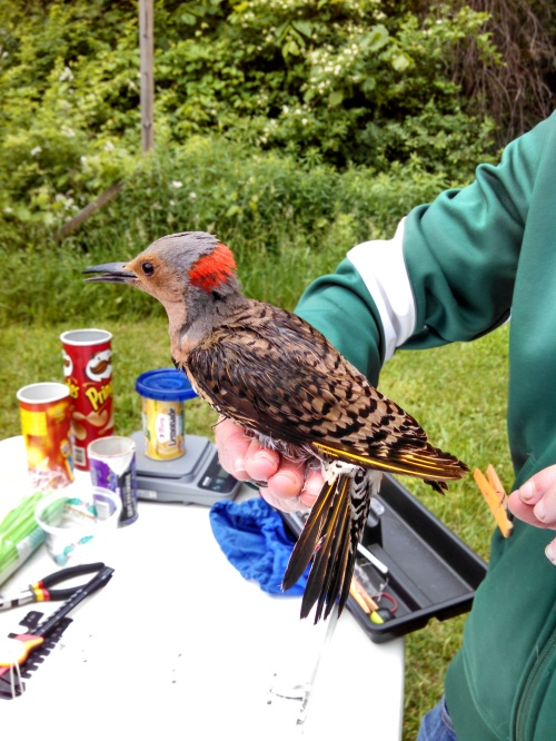 ATY Male Northern Flicker
