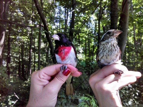 Adult Male & Female Rose-breasted Grosbeaks Photo by Meghan Oberkircher