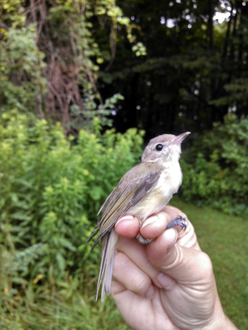 Warbling Vireo Photo by Meghan Oberkircher
