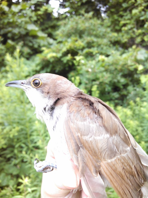 SY Black-billed Cuckoo Photo by Meghan Oberkircher