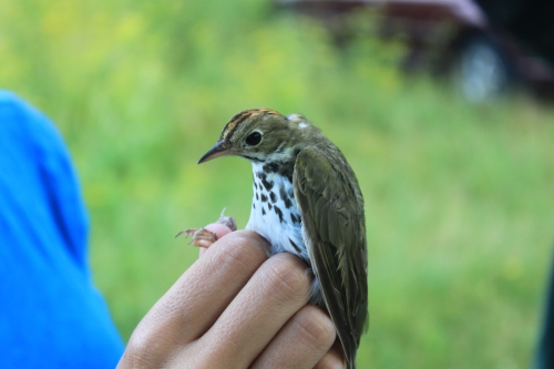 Ovenbird  Photo by Ryan Kayhart