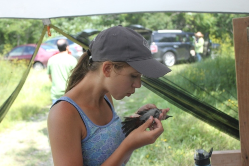 Claire checking for fat on a Gray Catbird Photo by Ryan Kayhart