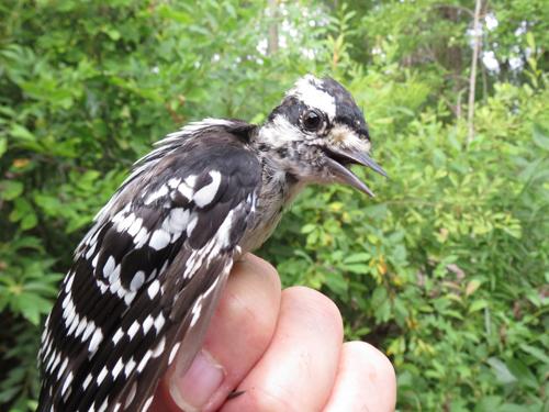 Downy Woodpecker Photo by Jon Dombrowski