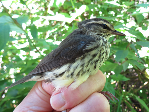Northern Waterthrush Photo by Jon Dombrowski