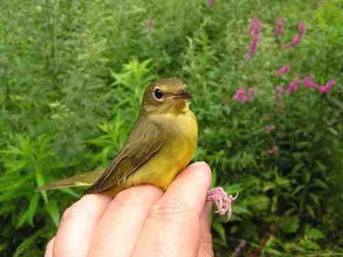 """A young female Mourning Warbler.  She looks quite different from the male above.  They don't call them """"confusing fall warblers"""" for nothing!"""