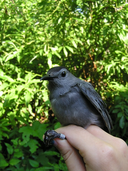 Bird of the Day - Gray Catbird.