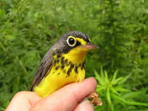 Oh, Canada!  A stunningly pretty bird.