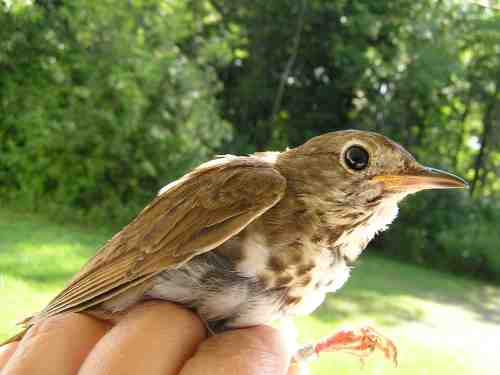 After-hatch year female Hermit Thrush.  This bird had a brood patch!