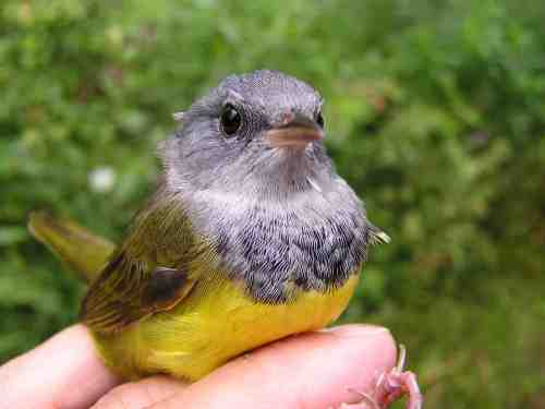 A gorgeous older male Mourning Warbler - one of three MOWA we captured today.