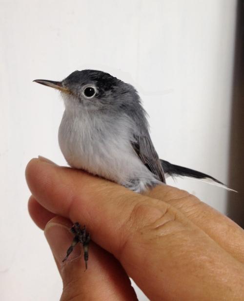 Female Blue-gray Gnatcatcher Photo by Peggy Keller