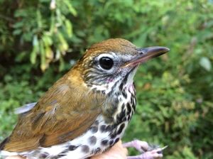 HY Wood Thrush Photo by Peggy Keller