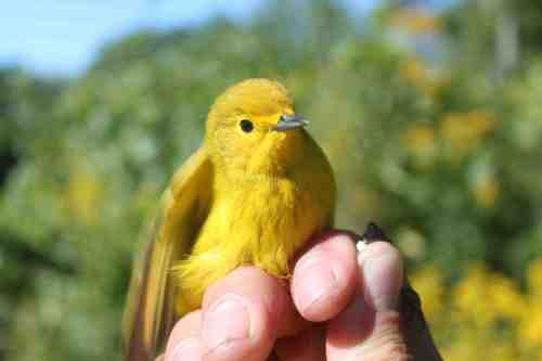 Adult male Yellow Warbler . . . who should have been on his way south weeks ago!