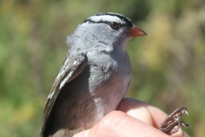 AHY White-crowned Sparrow Photo by Ryan Kayhart