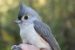 HY Tufted Titmouse Photo by Ryan Kayhart