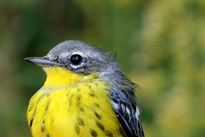 ASY Male Magnolia Warbler Photo by John Waud