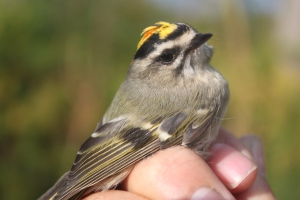 Male Golden-crowned Kinglet Photo by Ryan Kayhart