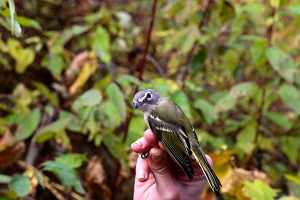 Blue-headed Vireo Photo by John Waud