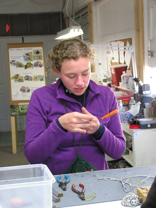 Jenna processes the last bird of the day - a White-throated Sparrow.