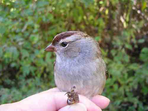 A hatch year White-crowned Sparrow.
