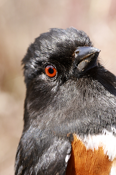 The first Eastern Towhee of the season.  Photo by John Waud.