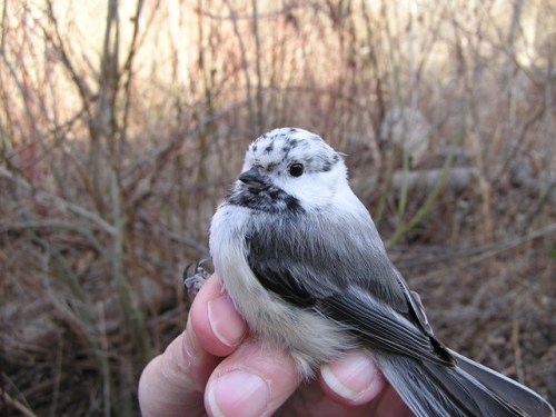 Partially leucistic Black-capped Chickadee.