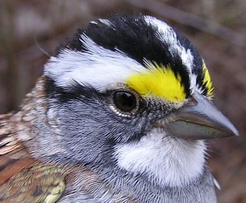 White-throated Sparrow.  This white morph is exceptionally vividly colored!