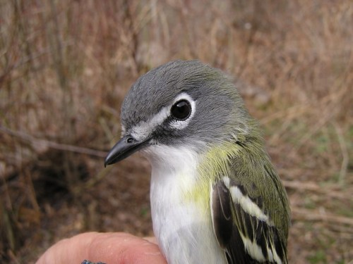 The first Blue-headed Vireo of the season.