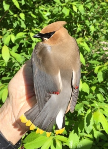Cedar Waxwing Photo by Peggy Keller