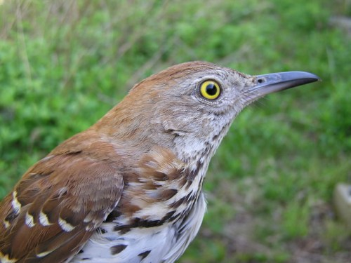 Female Brown Thrasher