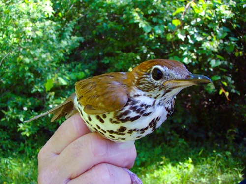Wood Thrush.  Photo by John Waud