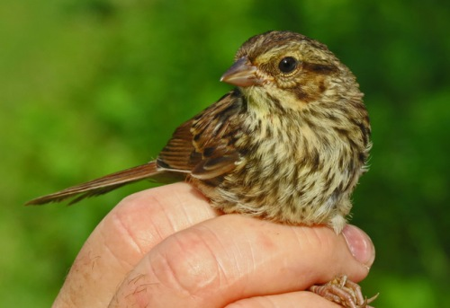 Juvenile Song Sparrow.  Photo by Jim Saller.