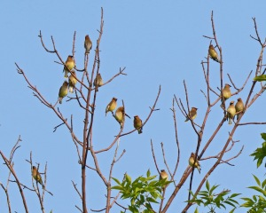 Cedar Waxwing Flock Photo by Jim Saller