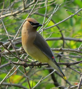 Adult Cedar Waxwing Photo by Jim Saller