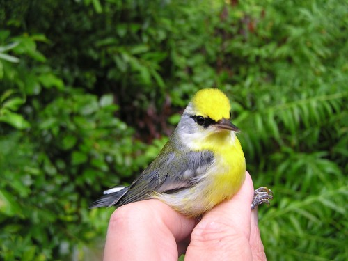 Brewster's Warbler, banded on Saturday