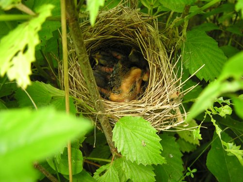 Three Indigo Bunting Babies