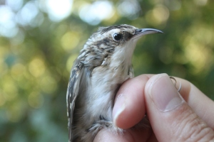 AHY Brown Creeper Photo by Ryan Kayhart