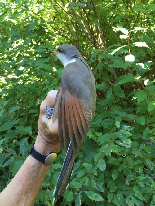 Yellow-billed Cuckoo! Photo by Peggy Keller