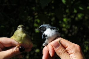 HY Female and AHY Male Black-throated Blue Warbler Photo by John Waud