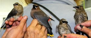 3 HY and 1 AHY Cedar Waxwing Family Photo by Kathy Habgood