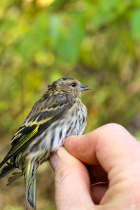 Just Another Pine Siskin!