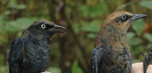Male and Female Rusty Blackbirds Photo by Kathy Habgood