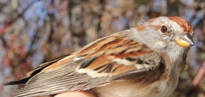 American Tree Sparrow Photo by Kathy Habgood