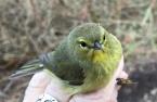 IMG_0010 Orange Crowned Warbler