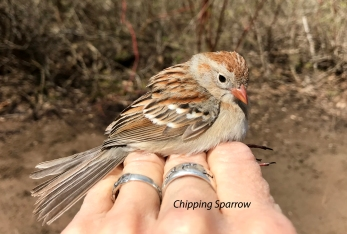 IMG_6818 Chipping Sparrow
