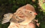 IMG_2892 Field Sparrow