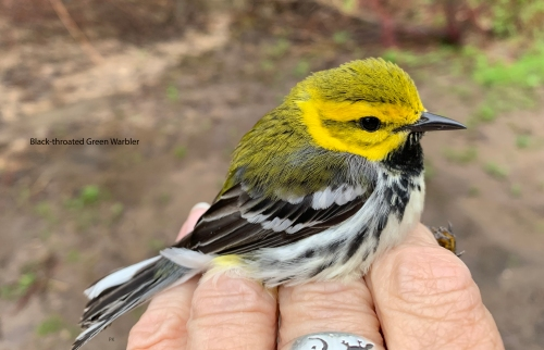 IMG_1686 Black-throated Green Warbler