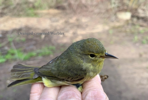 IMG_1738 Orange-crowned Warbler